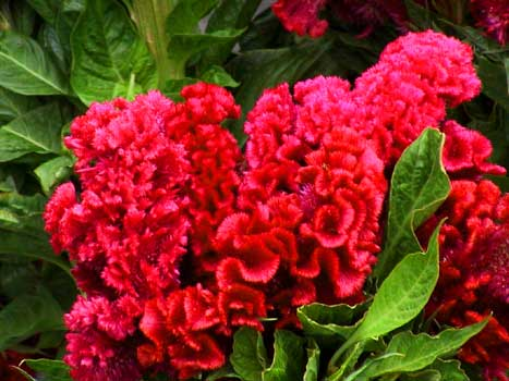 celosia brains - atomjacked bunched at Ivar Farmers Market October 28, 2001