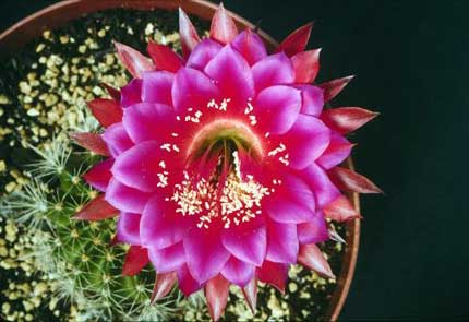 Echinopsis Oracle - at the Huntington Library