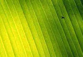 fly on a banana leaf...