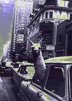 Llama in a taxi - photo by Inge Morath (1957)