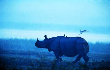 rhinoceros and egret
